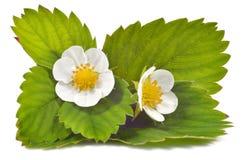 Erdbeerblumen und -blätter lokalisiert lizenzfreie stockfotografie