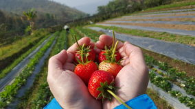 Erdbeere Stockfotografie
