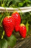 Erdbeere Lizenzfreies Stockfoto