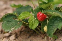 Erdbeere 1 Lizenzfreie Stockbilder