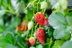 Erdbeere angemessen in Rayong lizenzfreie stockfotos