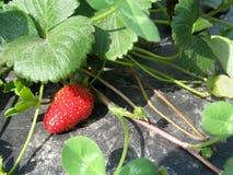 Erdbeere-Anlage Stockbilder