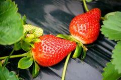 Erdbeere auf dem Gebiet Lizenzfreies Stockbild