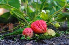Erdbeere auf einem Bett Stockfoto