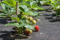 Erdbeere auf einem Bett mit den roten und grünen Beeren an einem sonnigen Tag Stockfotografie