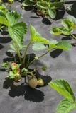 Erdbeere auf einem Bett mit grünen Beeren an einem sonnigen Tag Stockfoto
