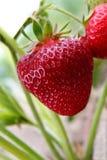 Erdbeere auf einem Feld Stockfotos