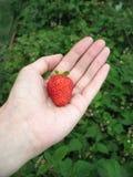 Erdbeere auf Hand der Frau stockbild