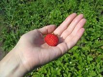 Erdbeere auf Palme der Frau stockbilder