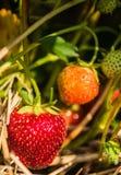 Erdbeere auf Weiß Stockfotografie