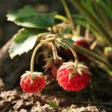 Erdbeere auf Zweig Lizenzfreie Stockfotos