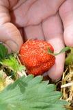 Erdbeere aufheben Stockfotografie