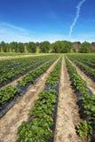 Erdbeere-Bauernhof Stockfotografie