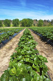 Erdbeere-Bauernhof Lizenzfreies Stockbild