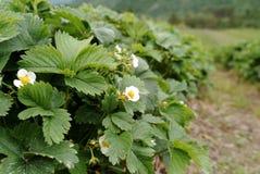 Erdbeere-Blumen Stockbilder