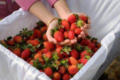 Erdbeere, DA-Lat, dalat, Frucht, Landwirtschaft Stockfotografie