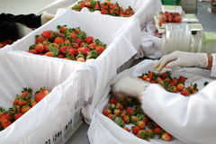 Erdbeere, DA-Lat, dalat, Frucht, Landwirtschaft Stockbilder