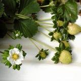 Erdbeere, DA-Lat, dalat, Frucht, Landwirtschaft Stockbild