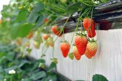 Erdbeere in den Gewächshäusern lizenzfreie stockbilder