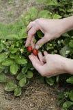 Erdbeere in den Händen der Frau Lizenzfreies Stockbild