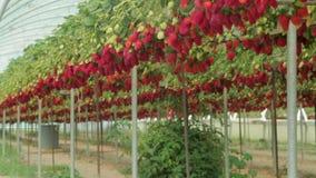 Erdbeere an der Bauernhofnahaufnahme stock video footage