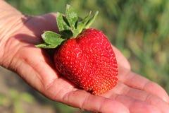 Erdbeere in der Palme der Hand Saftige reife Erdbeere Stockfotografie