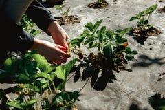 Erdbeere, die in den weiblichen Frauenhänden des Mädchens hält; Sammeln harvestin Lizenzfreies Stockbild