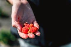 Erdbeere, die in den weiblichen Frauenhänden des Mädchens hält; Sammeln harvestin Lizenzfreie Stockbilder