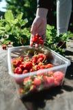 Erdbeere, die in den weiblichen Frauenhänden des Mädchens hält; Sammeln harvestin Stockfotos
