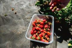 Erdbeere, die in den weiblichen Frauenhänden des Mädchens hält; Sammeln harvestin Lizenzfreie Stockfotos