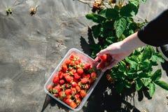 Erdbeere, die in den weiblichen Frauenhänden des Mädchens hält; Sammeln harvestin Stockbild