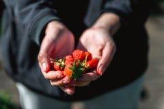 Erdbeere, die in den weiblichen Frauenhänden des Mädchens hält; Sammeln harvestin Stockbilder