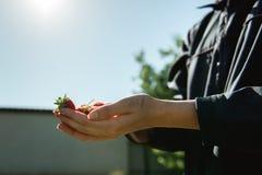 Erdbeere, die in den weiblichen Frauenhänden des Mädchens hält; Sammeln harvestin Lizenzfreies Stockfoto