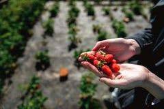 Erdbeere, die in den weiblichen Frauenhänden des Mädchens hält; Sammeln harvestin Stockfoto