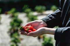 Erdbeere, die in den weiblichen Frauenhänden des Mädchens hält; Sammeln harvestin Stockfotografie