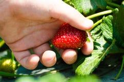 Erdbeere in einer kleinen Hand Stockbilder