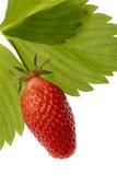 Erdbeere-Gariguette lizenzfreie stockfotos