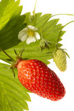 Erdbeere-Garriguette lizenzfreies stockbild