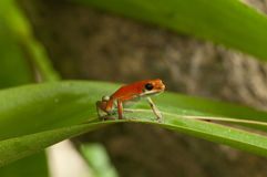 Erdbeere-Gift-Frosch Stockbild