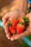 Erdbeere an Hand Stockbild