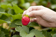 Erdbeere an Hand Stockfotografie