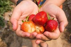 Erdbeere an Hand Stockfoto