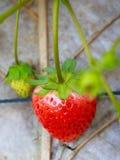 Erdbeere im Bauernhof lizenzfreie stockbilder