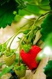 Erdbeere im gargen Stockbild