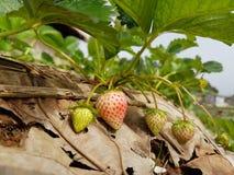 Erdbeere im Garten Stockbilder