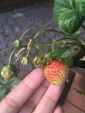 Erdbeere im Sommer Stockbild