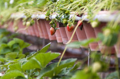 Erdbeere im Topf Lizenzfreie Stockfotos