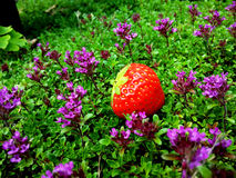 Erdbeere im wilden stockfoto