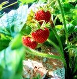 Erdbeere Nr. drei lizenzfreies stockfoto