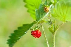 Erdbeere und Blatt auf grünem Hintergrund Lizenzfreies Stockfoto